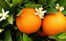 Nouveau du Shrubb avec des peaux d'orange en BIO.