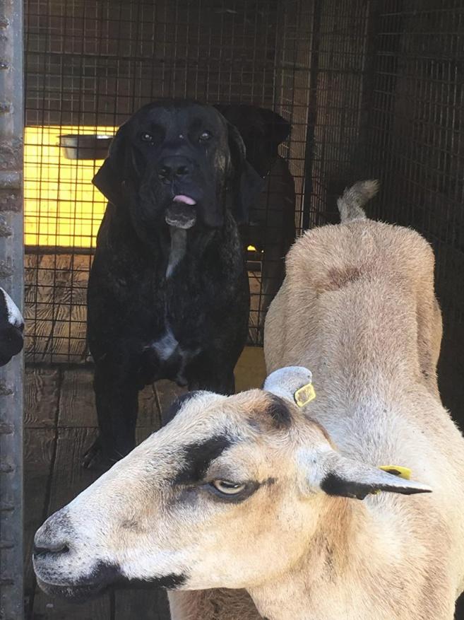 Mes chiens qui protègent le troupeau, pour éviter qu'ils n'attaquent les agents ne sachant pas à quelle heure ils viendraient.