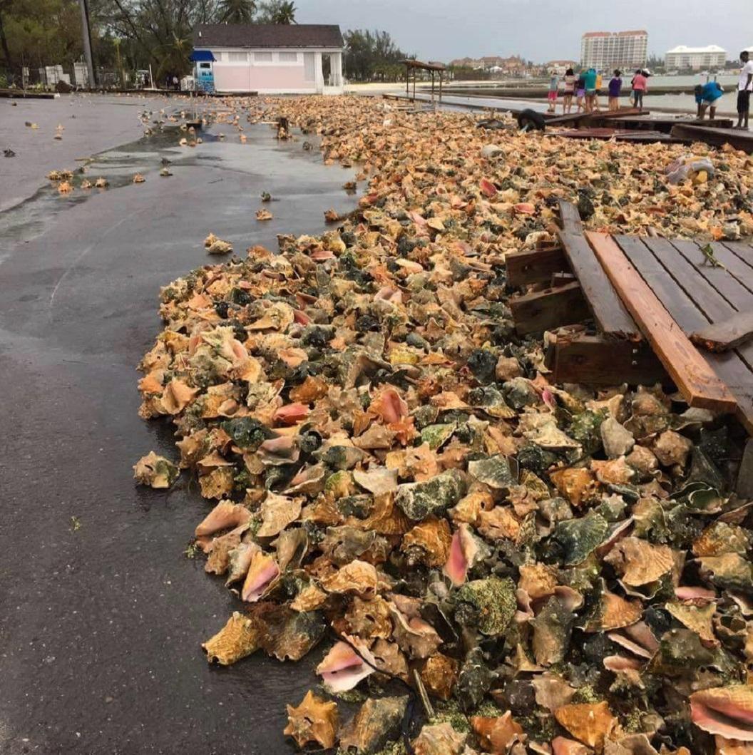 Incroyables avec la houle MATTHEW rejette sur le rivage des milliers de conques de Lambis!