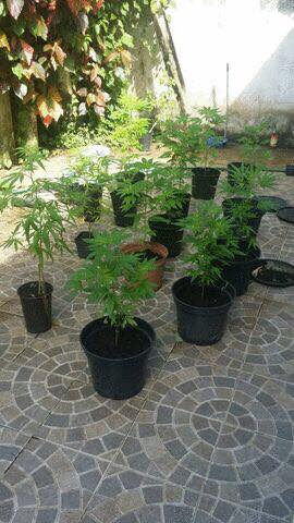 Ici une plantation de Mariguana au Vauclin , détruite par la police . Il ne s'agit pas de 10 grammes mais de culture