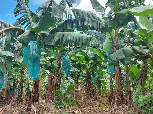 Martinique [ Chloredecone ] Qui va manger l'argent du plan chloredécone 4 ?