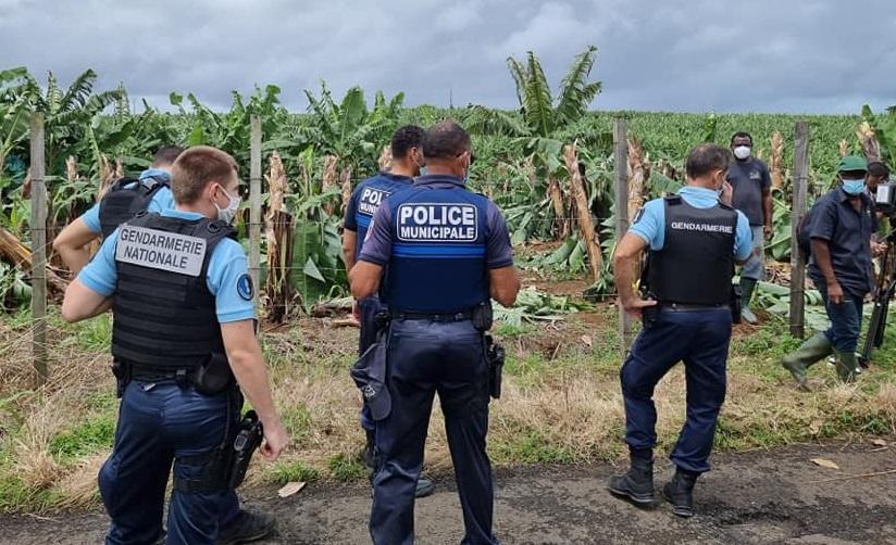 Tribune libre / Des vandales ont saccagé quelques 900 bananiers par Yvon JOSEPH-HENRI