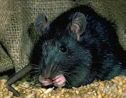 Les élections municipales de Fort de France vont t'elles faire naître un rat, un crocodile, ou un iguane?