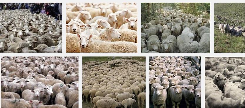Les ti moutons de l'UAG perdus dans une nasse se retournent maintenant vers le président du Conseil Régional SERGE LETCHIMY