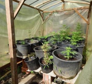 456 pieds de cannabis trouvés au domicile de l'agresseur sont immédiatement saisis et détruits.