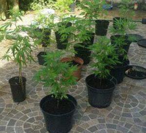 Martinique OECS Marijuana et dépénalisation:  'Antigua-Barbuda, la grande interrogation ?