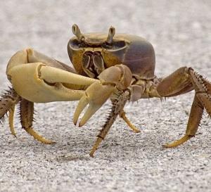 Combien de crabes y-a-t'il dans ce pays Martinique ?
