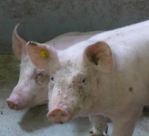 COMMUNIQUE : de la Régie Abattoirs de Martinique