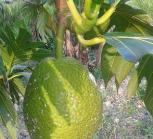 Emmanuel de Reynal : Un million d'arbres pour la Martinique et pourquoi pas deux millions ?
