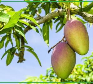 Lu pour vous ! Les bienfaits des feuilles séchées du manguier.