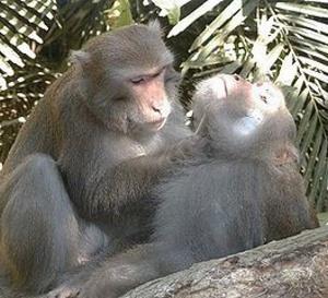 La macaquerie c'est un comportement qui consiste à élaborer un stratégie pour obtenir pour soi ou pour les autres de son groupe un avantage!