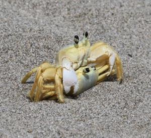 Apres un le coq quimboisé, deux crabes qui copulent!